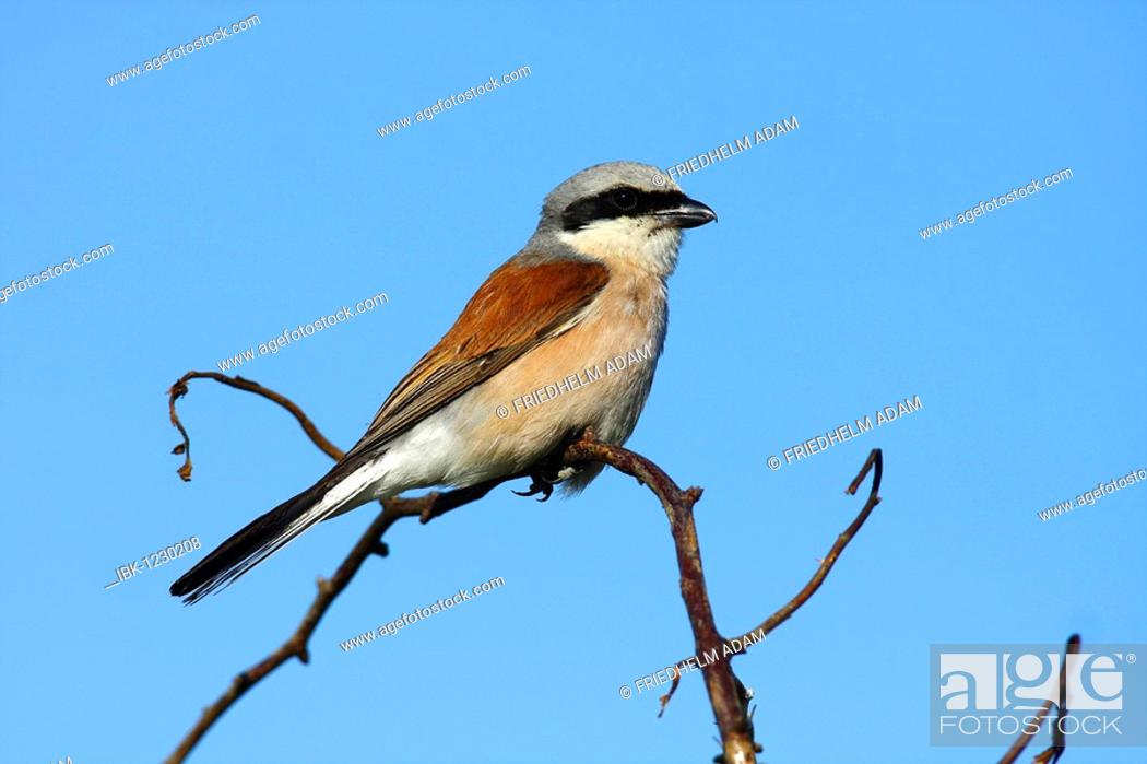 Stock Photo: Red-backed shrike (Lanius collurio), male on branch.