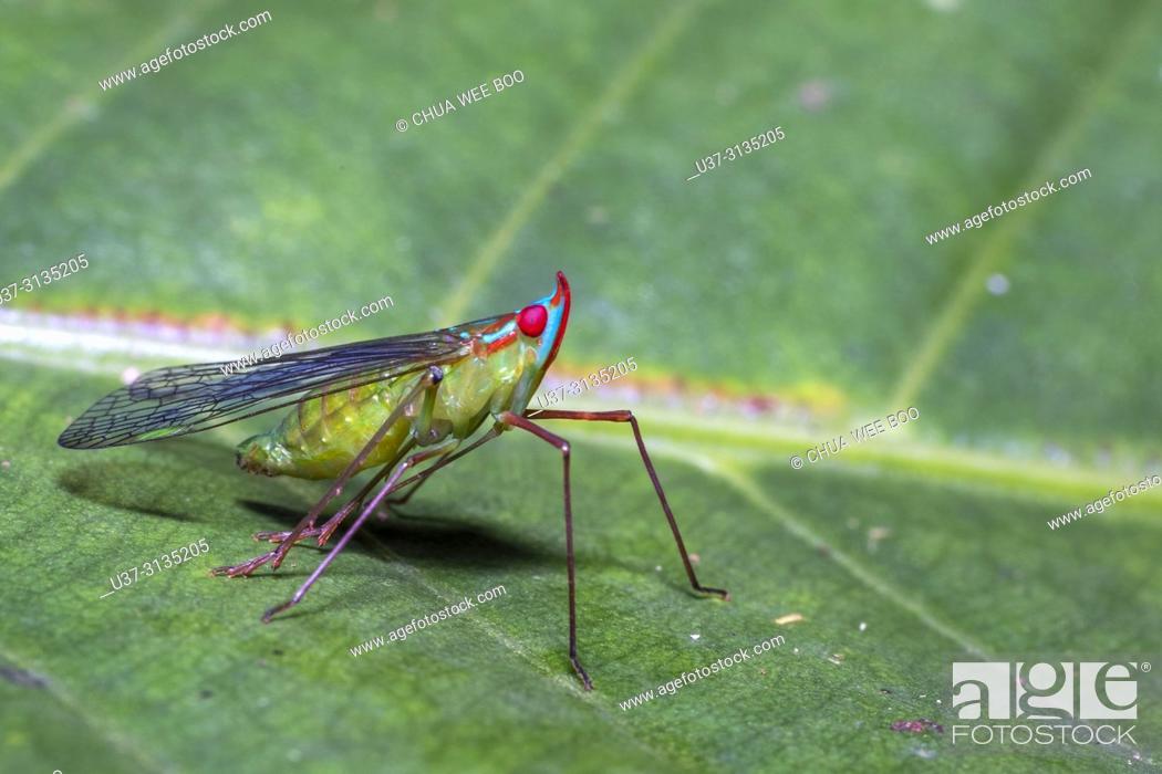 Stock Photo: Leaf hopper. Image taken at Stutong Forest Reserve Park, Kuching, Sarawak, Malaysia.