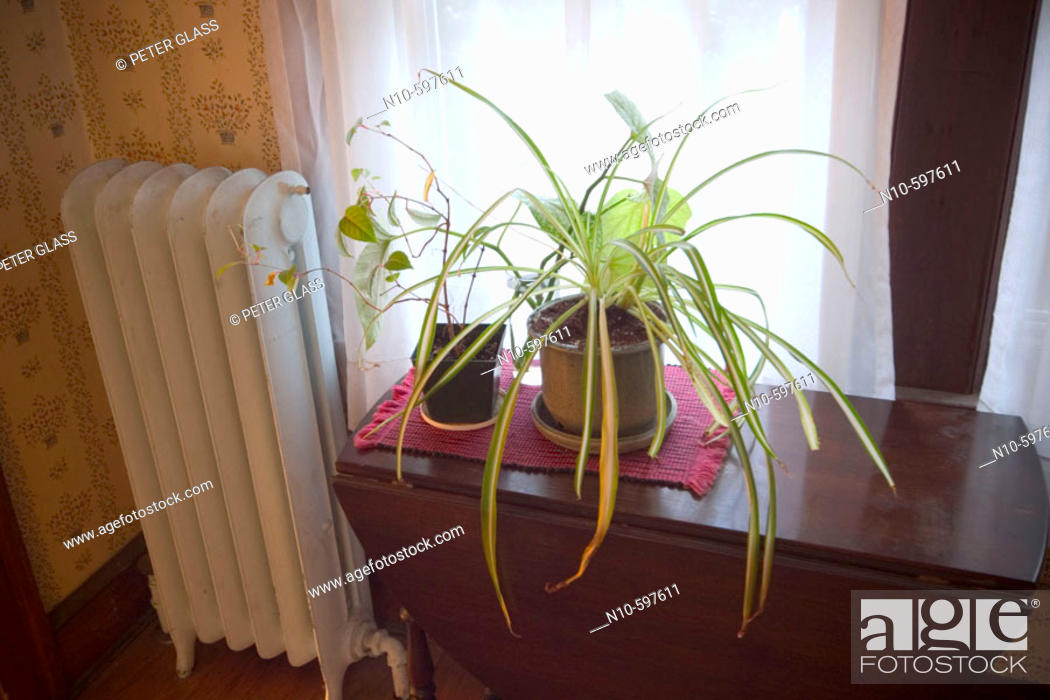 Stock Photo: Houseplants setting on a table next to a radiator and window.