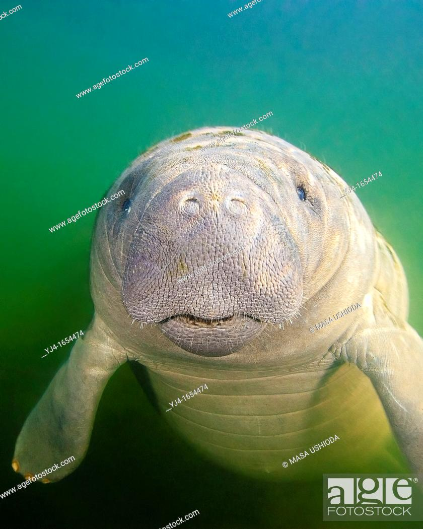Stock Photo: Florida manatee, Trichechus manatus latirostris, calf with neonatal folds and still prominent navel, endangered subspecies of the West Indian manatee, Kings Bay.