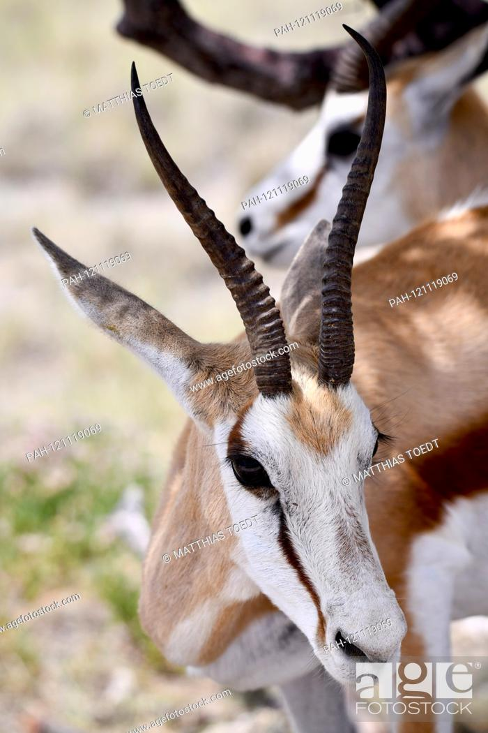 Stock Photo: Springbok (Antidorcas marsupialis) in the Namibian Etosha National Park. This antelope species is distributed exclusively throughout Southern Africa.