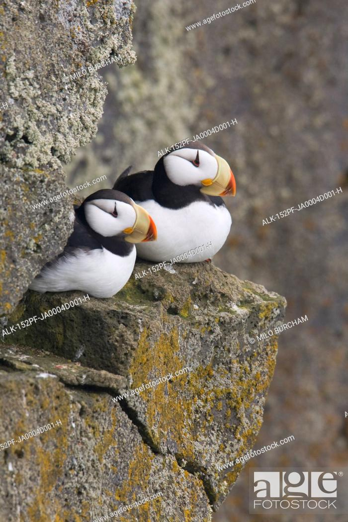 Stock Photo: Horned Puffin pair perched on a cliff ledge during Summer, Saint Paul Island, Pribilof Islands, Bering Sea, Southwest Alaska.