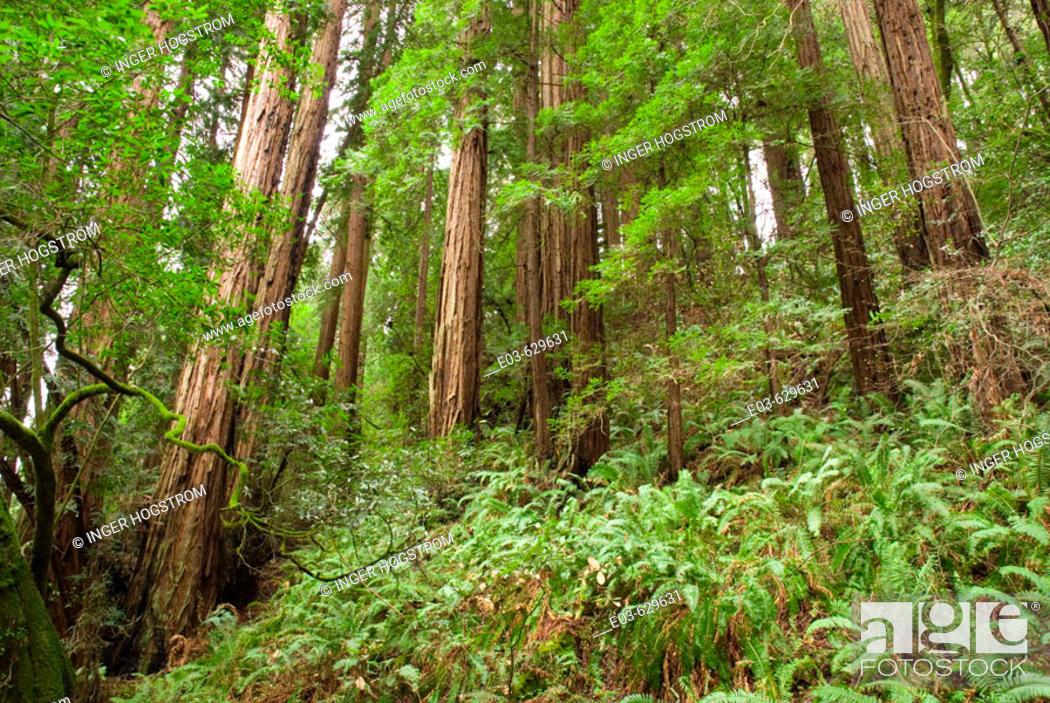 Stock Photo: Redwoods, Muir Woods National Monument, Marin County, California. USA.