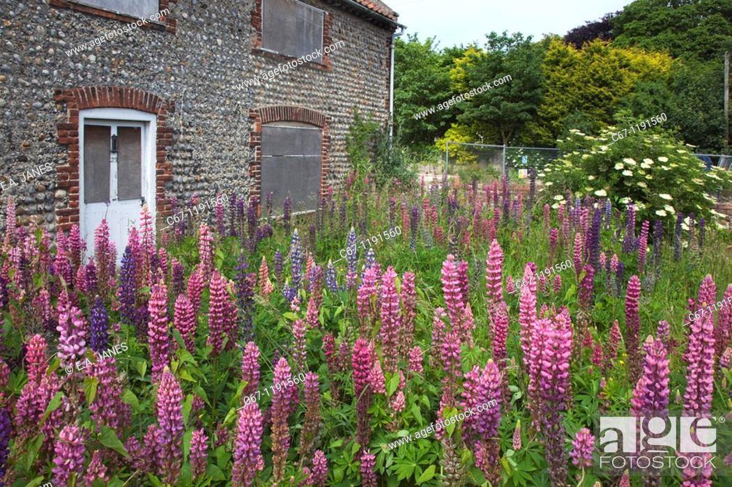Stock Photo: Lupins in derelict house garden Norfolk.
