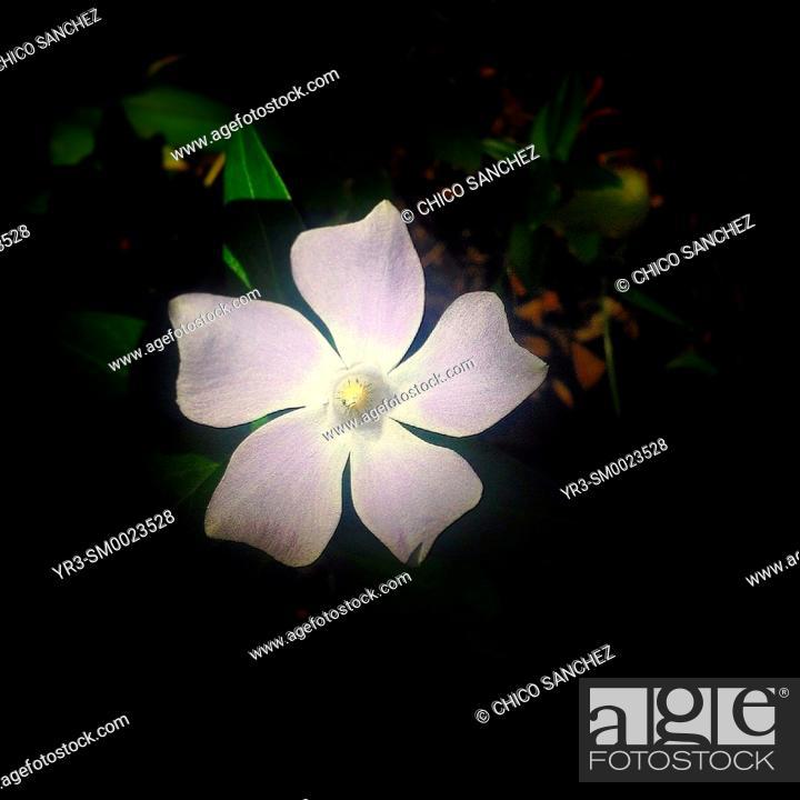 Stock Photo: A five petals purple flower in Prado del Rey, Sierra de Grazalema Natural Park, Andalusia, Spain.