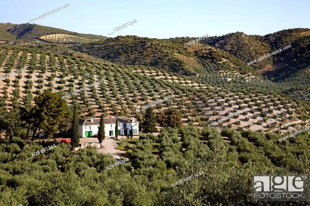Stock Photo: Olive grove and 'cortijo', Priego de Cordoba, Cordoba province, Andalusia, Spain.