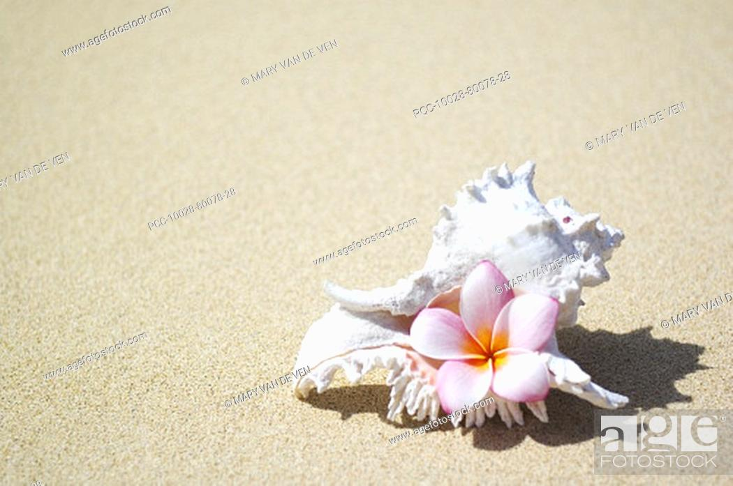 Stock Photo: White murex shell on sand with pink plumeria in opening.