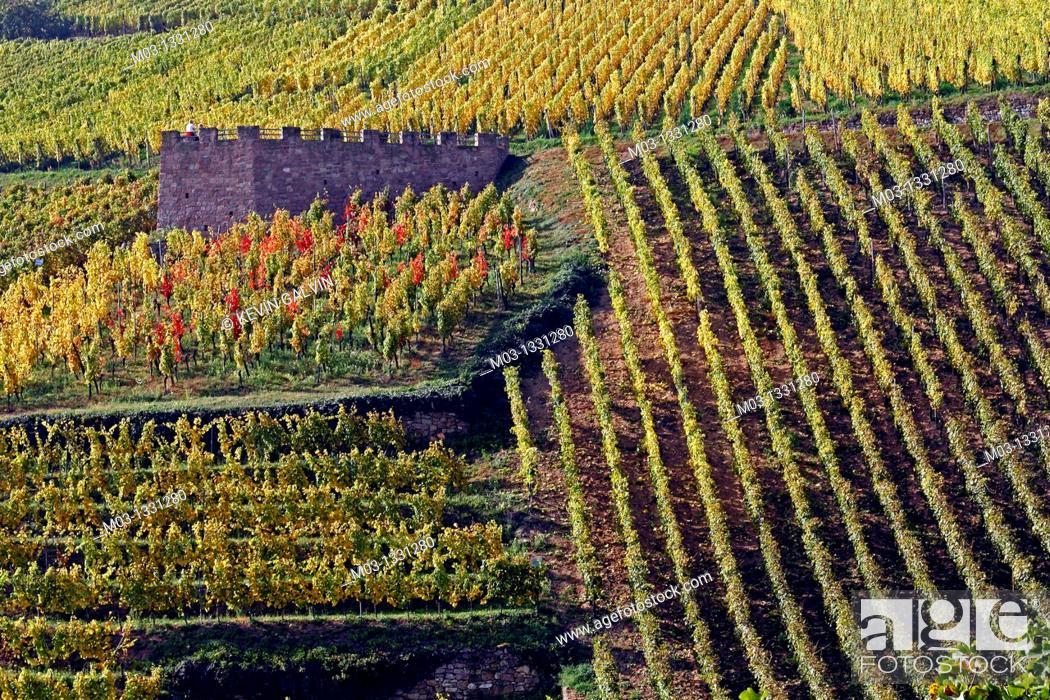 Stock Photo: Vineyard, Niedermorschwihr, Alsace wine route, France.