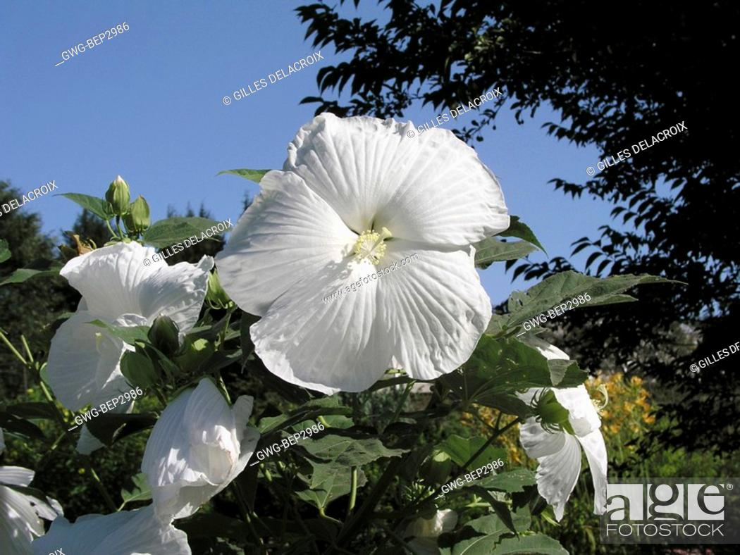 Hibiscus Moscheutos Blue River Ii Stock Photo Picture And Rights