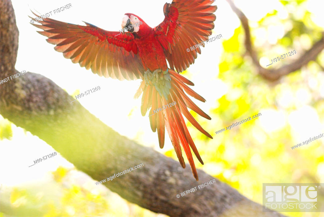Stock Photo: Green-winged Macaw (Ara chloroptera) flying in the canopy. Cerrado tropical savanna ecoregion, Piauí, Brazil.