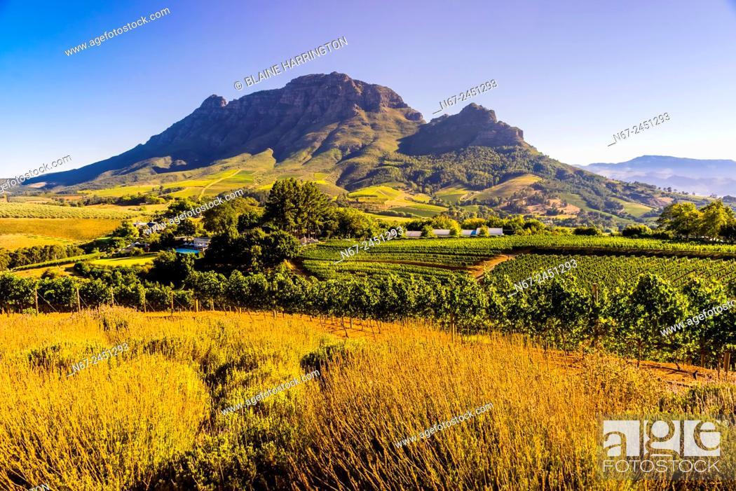 Stock Photo: Vineyards, Delaire Graff Wine Estate atop Helshoogte Pass, near Stellenbosch, Cape Winelands (near Cape Town), South Africa.
