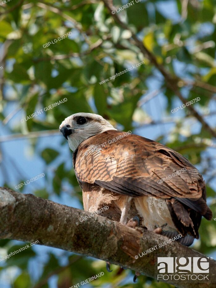 Stock Photo: Bird of prey, Hawk-beautiful, Pantanal, Mato Grosso do Sul, Brazil.