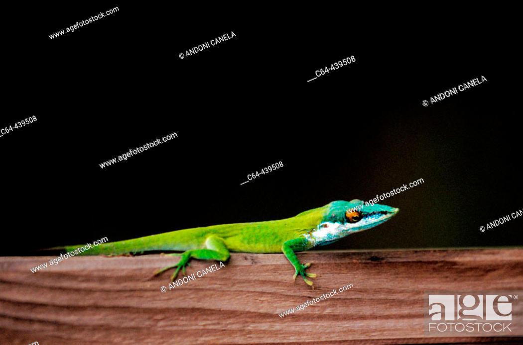 Stock Photo: Wall lizard. Oak Ridge. Roatán. Bay Islands. Honduras.
