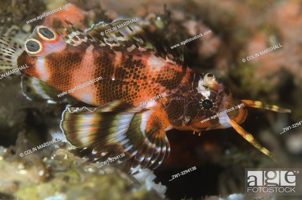 Stock Photo: Twinspot Lionfish (Dendrochirus biocellatus), Dropoff dive site, Seraya, near Tulamben, Bali, Indonesia.