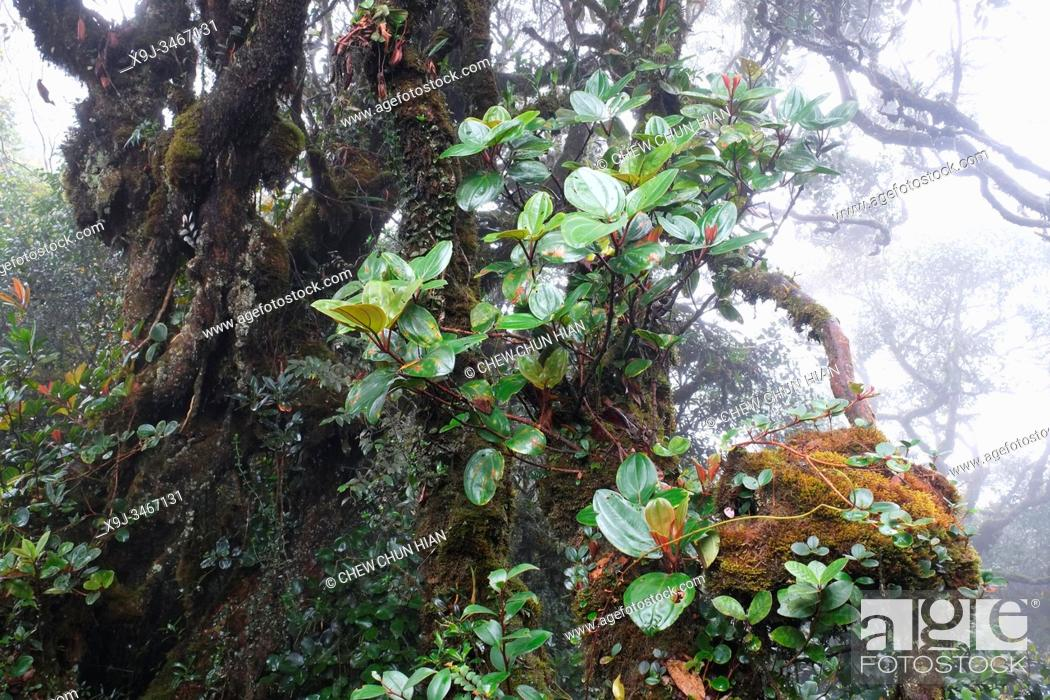 Stock Photo: Mossy Forest, Cameron Highlands, Malaysia.