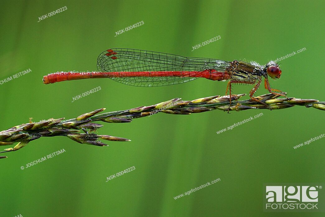 Imagen: Small Red Damselfly (Ceriagrion tenellum) resting on a blade of grass, The Netherlands, Drenthe.