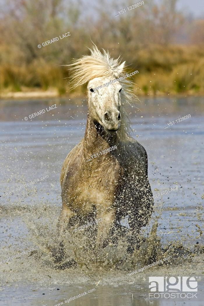 Stock Photo: CAMARGUE HORSE, SAINTES MARIE DE LA MER IN THE SOUTH OF FRANCE.