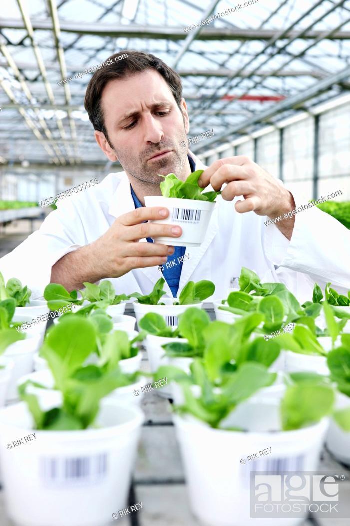 Stock Photo: Germany, Bavaria, Munich, Scientist in greenhouse examining corn salad plants.