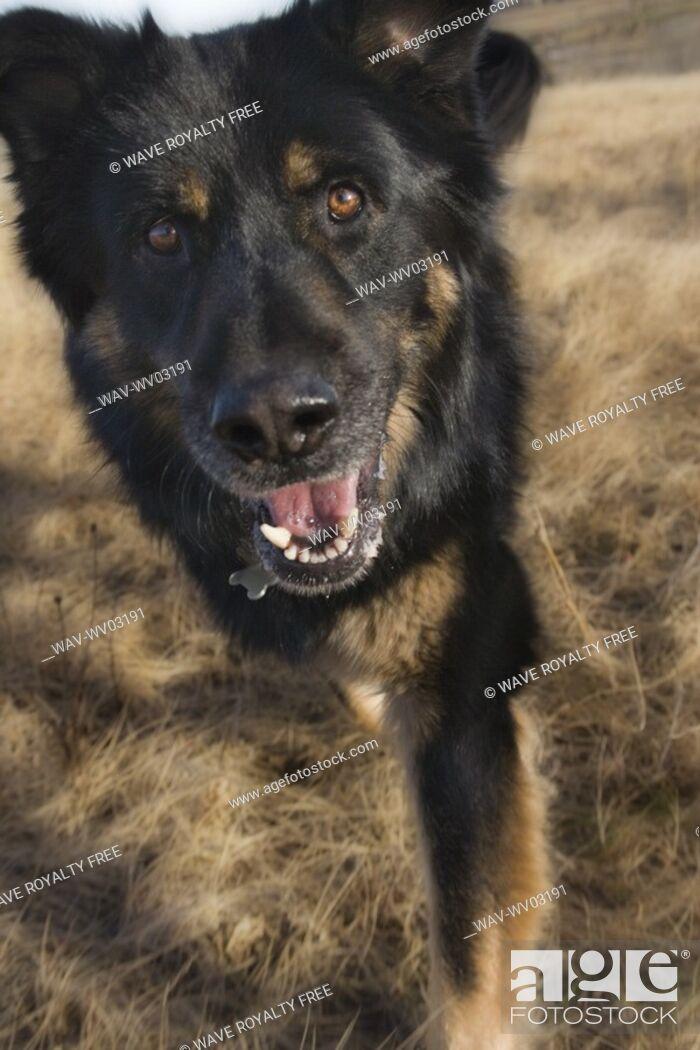 Stock Photo: Black and brown mixed Breed Dog walks toward camera , Canada, Alberta.