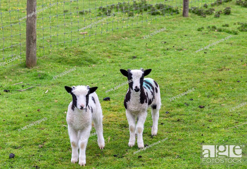Stock Photo: Two cute lambs in a green field on a farm.