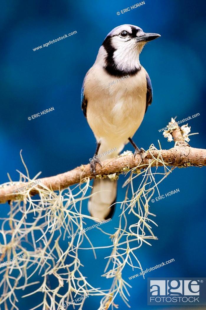 Stock Photo: Blue Jay.