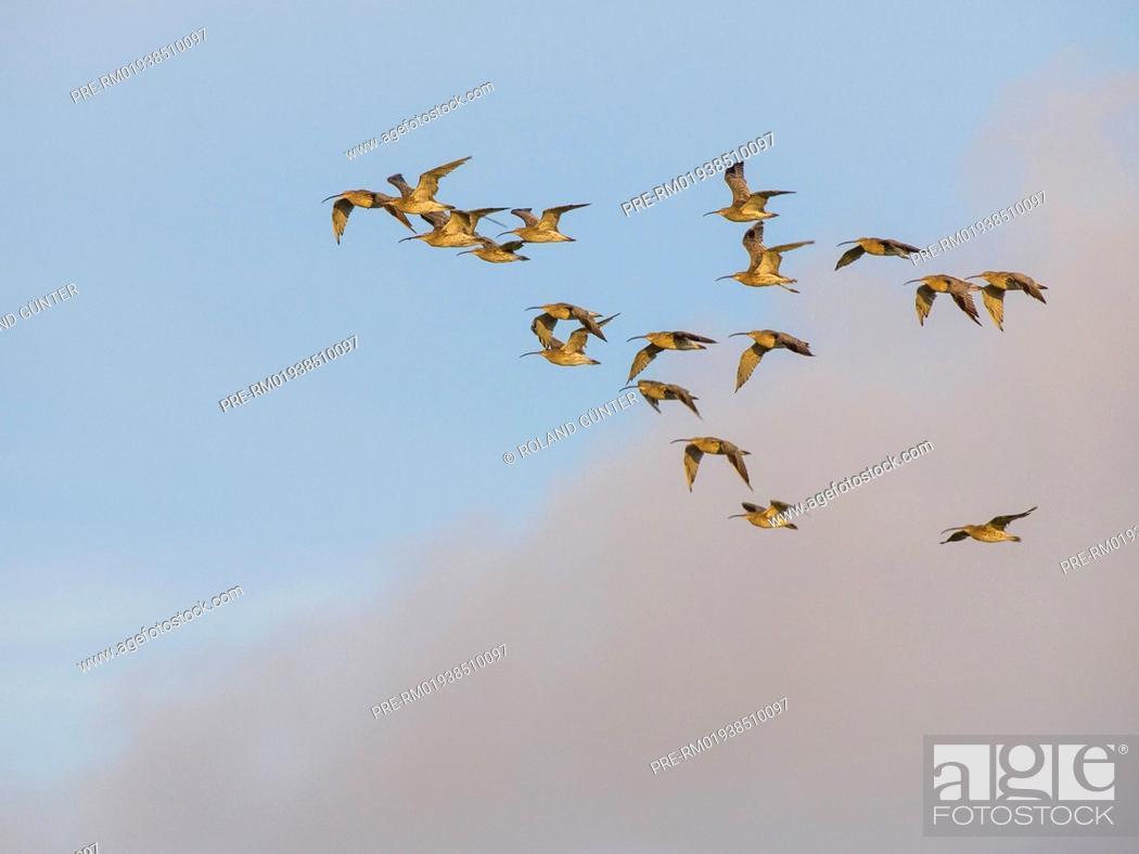 Imagen: Eurasian Curlews, Numenius arquata / Große Brachvögel, Numenius arquata.