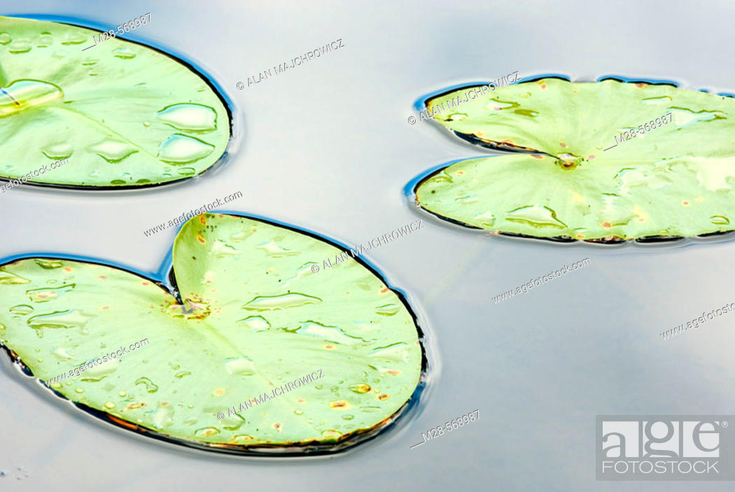 Stock Photo: Water Lilies in lake of North Cascades. Washington. USA.
