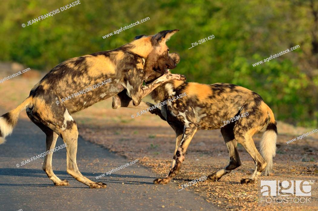Stock Photo: African wild dogs (Lycaon pictus), playing at the edge of the road, Kruger National Park, South Africa, Africa.