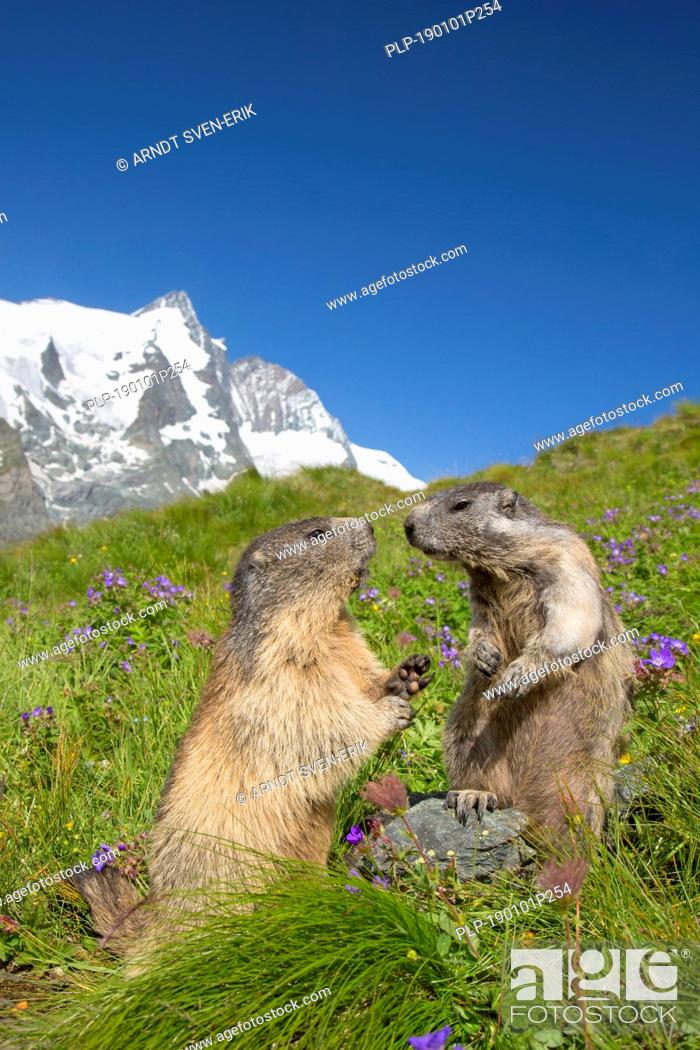 Stock Photo: Alpine marmot (Marmota marmota) pair in front of the snow covered mountain Grossglockner, Hohe Tauern National Park, Carinthia, Austria.
