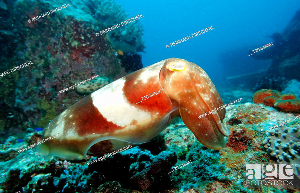 Stock Photo: Reef cuttlefish , Sepia latimanus , Bali, Indian Ocean, Indonesia.
