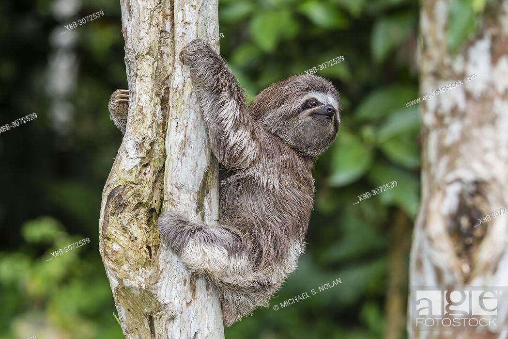 "Stock Photo: A captive """"pet"""" brown-throated sloth, Bradypus variegatus, San Francisco Village, Loreto, Peru."
