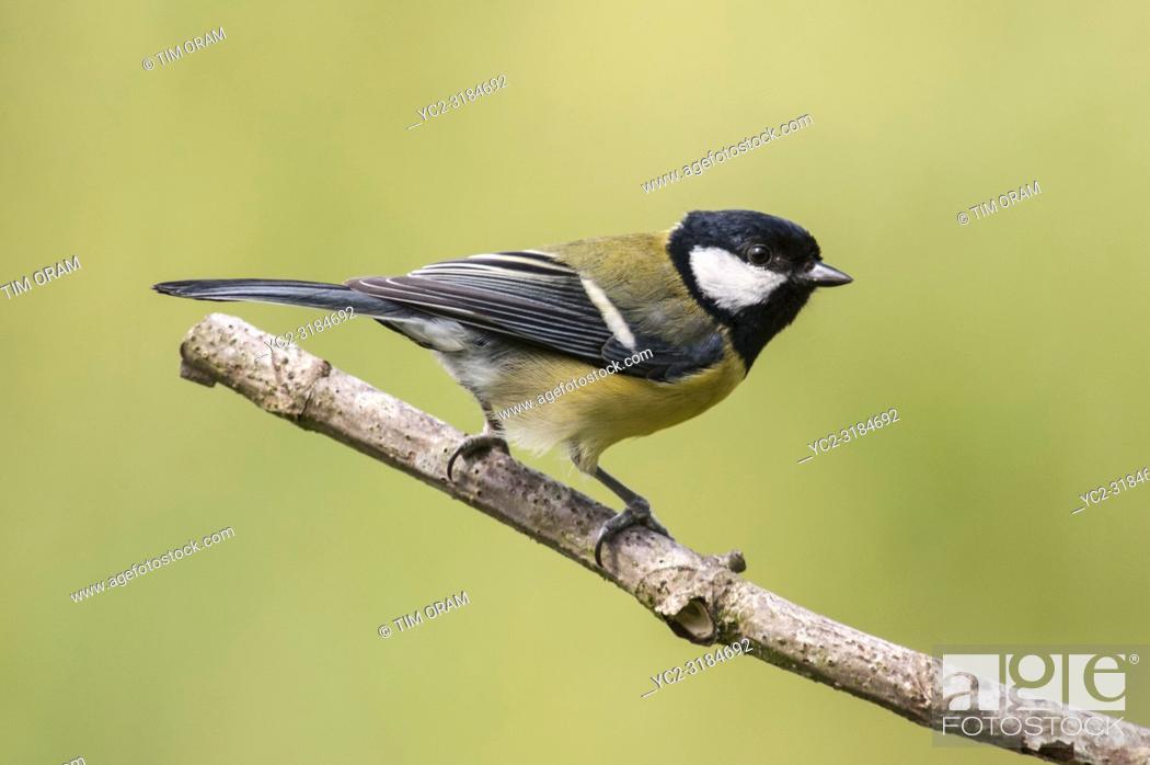 Stock Photo: A Great Tit (Parus major) in a Norfolk garden.