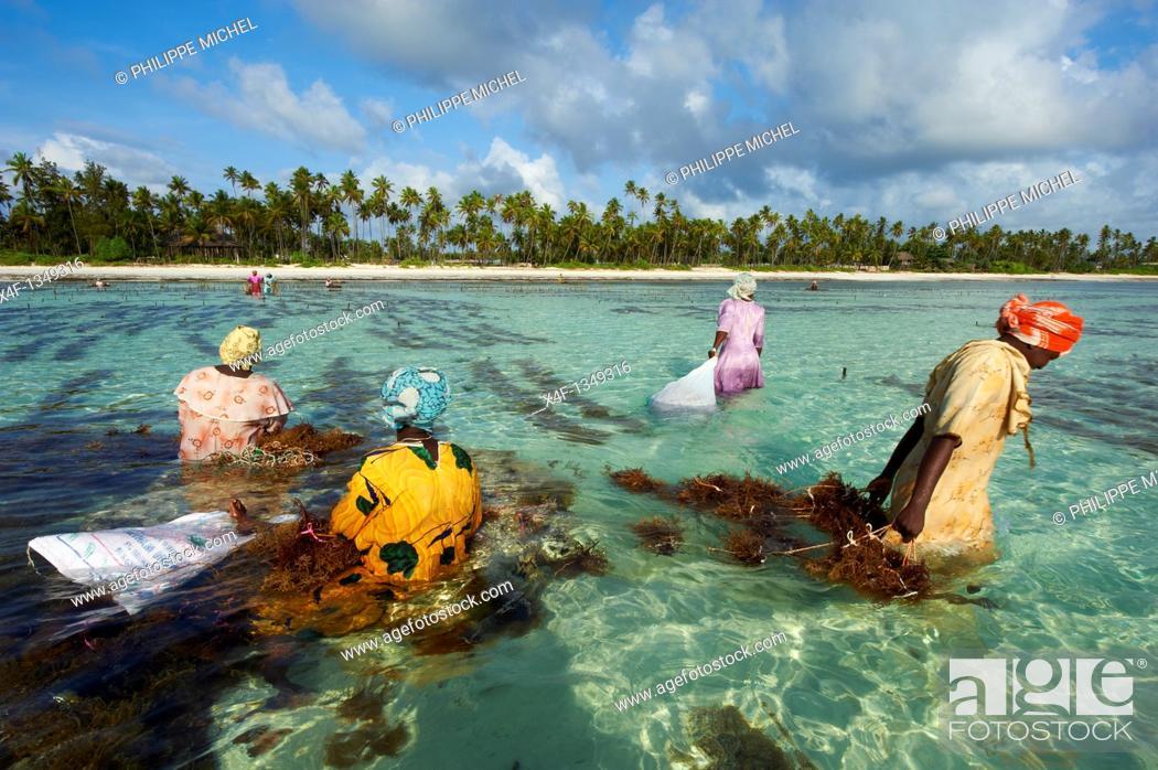 Stock Photo: Tanzania, Zanzibar island, Unguja, alga harvesting at one of the underwater farms, Jambiani.