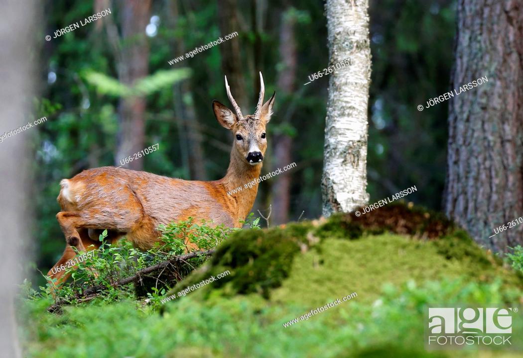 Stock Photo: Roe deer, Botkyrka, Stockholm, Sweden.