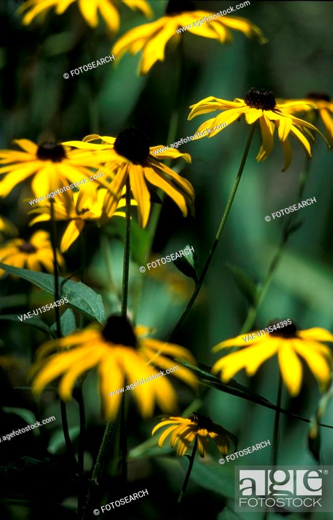 Stock Photo: blooms, background, bloom, black, Bernhard, abloom.