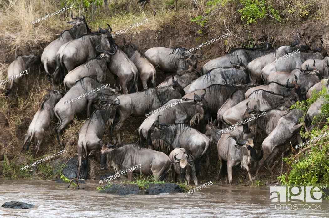 Stock Photo: Wildebeest (Connochaetes taurinus) crossing the river Mara, Masai Mara, Kenya.