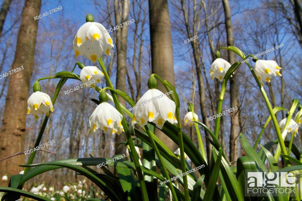 Stock Photo: Spring Snowflakes, Oderwald, Lower Saxony, Germany / Leucojum vernum / Wolfenbüttel.
