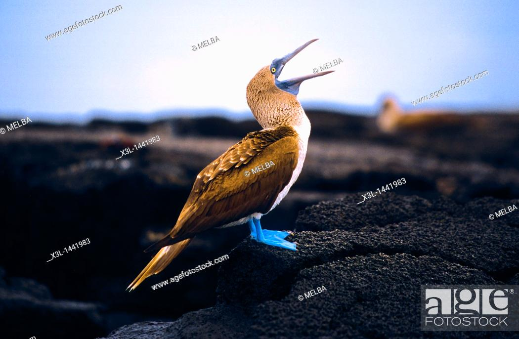 Stock Photo: Blue-footed Booby adult head with open bill ,Sula nebouxi, Hood Island, isla Floreana  Galapagos  Ecuador.