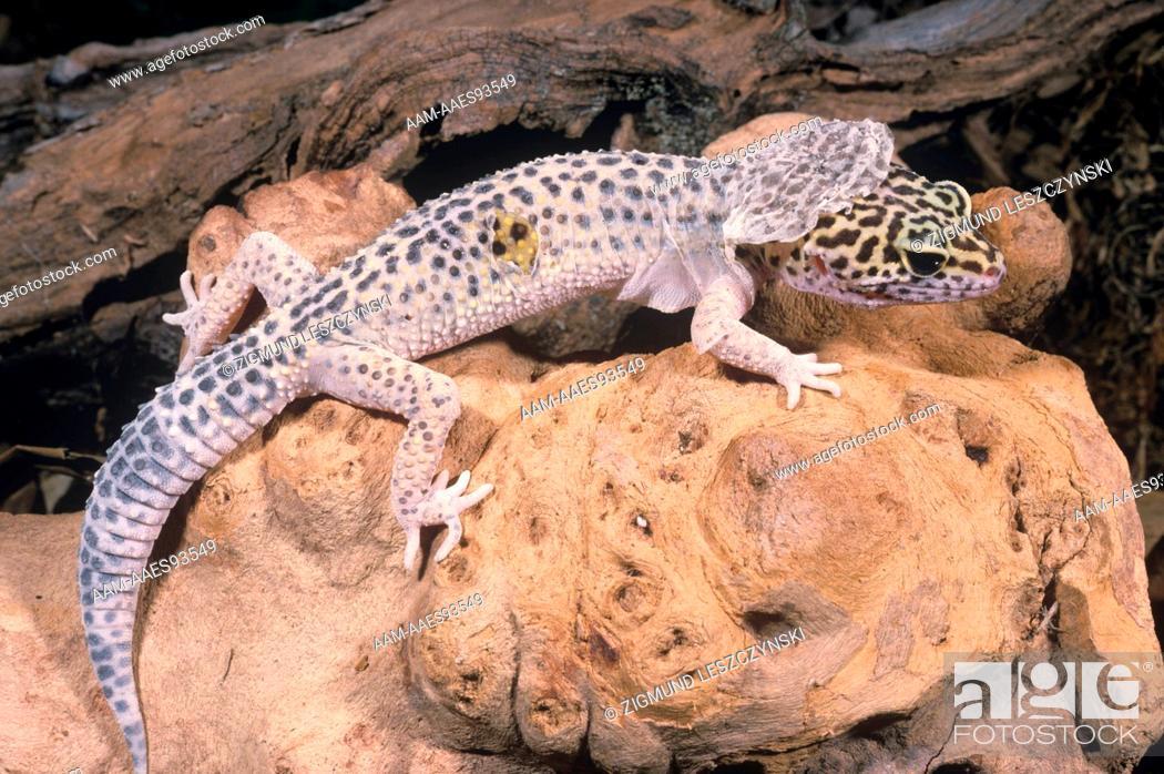 Leopard Gecko shedding Skin (Eublepharis macularis), Foto de Stock ...