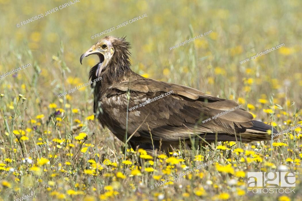 Stock Photo: Egyptian vulture (Neophron percnopterus), among flowers in a meadow in Extremadura, Spain.