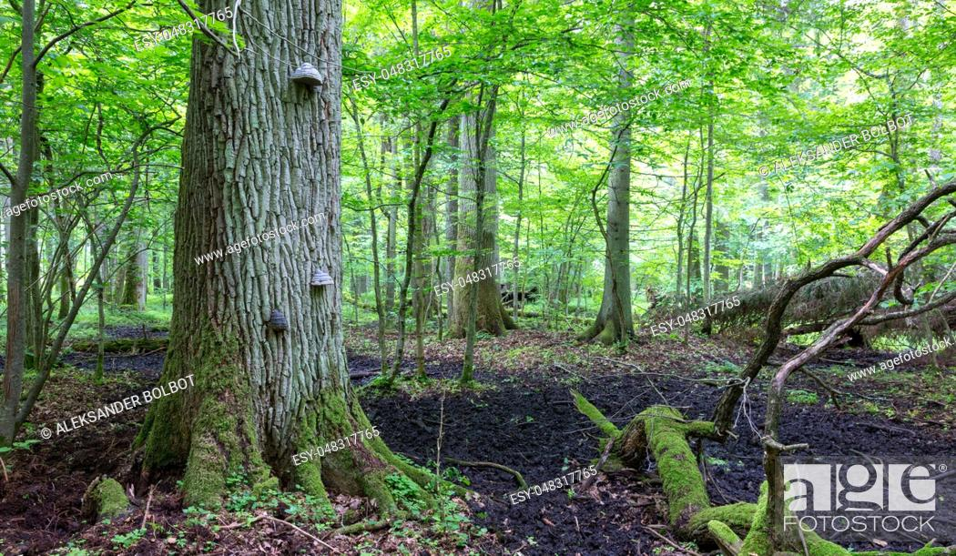 Stock Photo: Old oak tree broken branch lying and old natural deciduous stand in background, Bialowieza Forest, Poland, Europe.