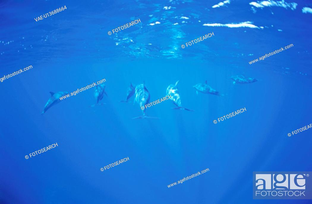 Stock Photo: Bottlenose Dolphins.