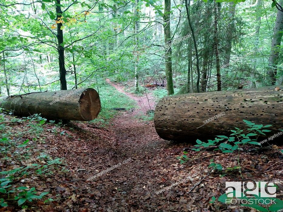 Stock Photo: Large sawn tree on two part for pass path Beech broken Obstacle concept Hard life Cleared passage nature.