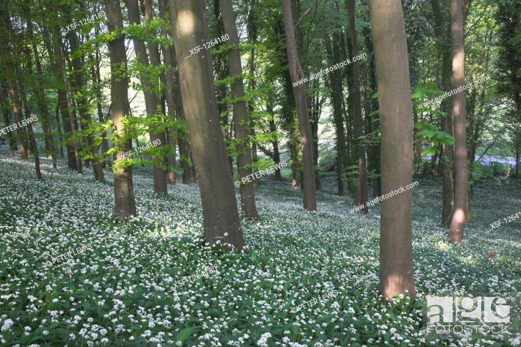 Stock Photo: Ramsons Allium ursinum or Wild Garlic nr Dorchester Dorset.