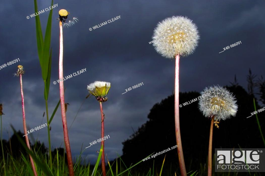 Stock Photo: Dandelion (Taraxacum officinale) parachutes ready to shed their seeds.