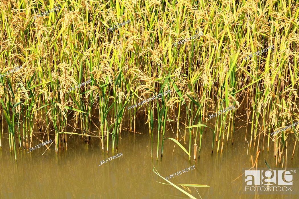 Stock Photo: Semiaquatic rice growing in a paddy field in Albufera near Valencia Spain.