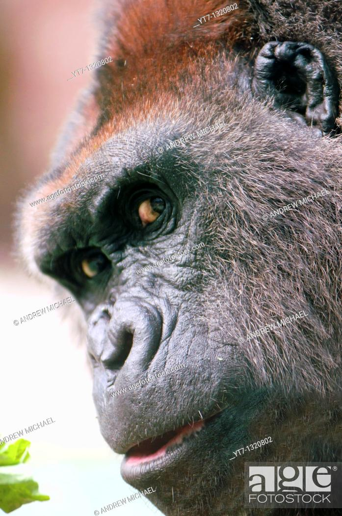 Stock Photo: Gorilla close up with eye contact.