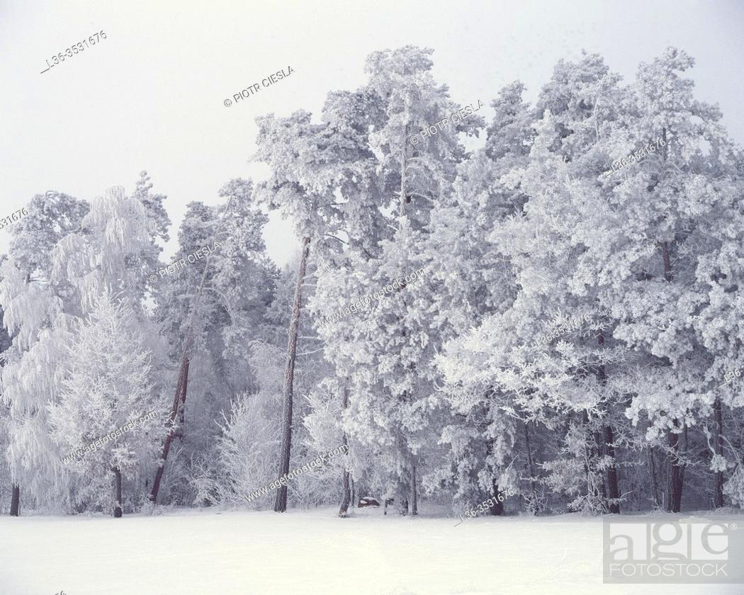 Stock Photo: Rime on trees, Podlasie region, Poland.