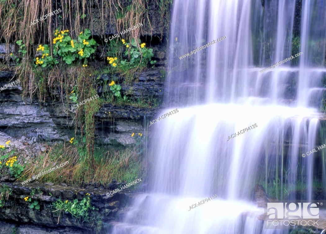 Stock Photo: Marsh Marigolds (Caltha palustris), High Falls, Manitoulin Island, Ontario, Canada.