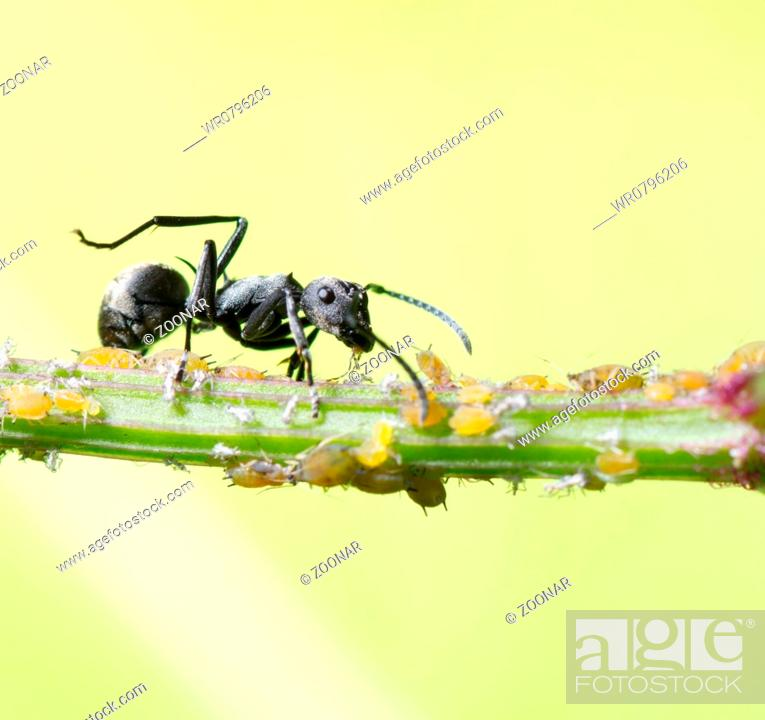 Stock Photo: insect ant.
